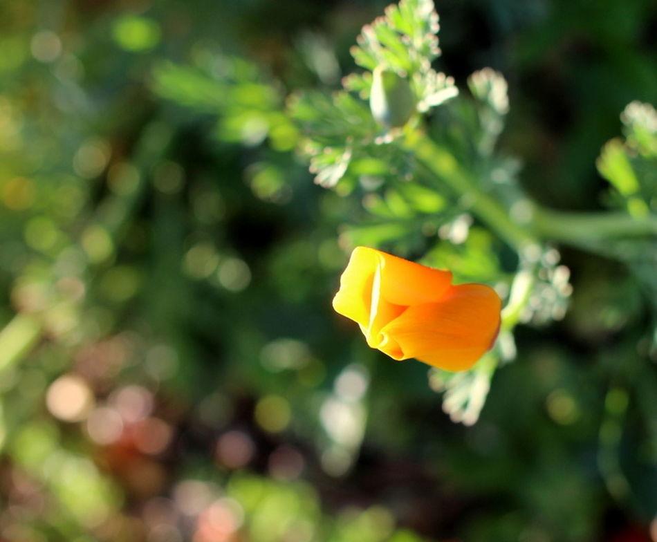 Flower Close-up Springtime California Poppy