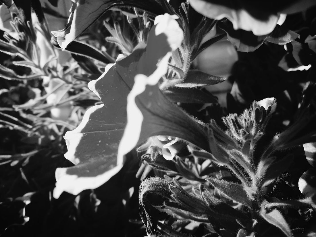 Petunias In Full Bloom Petunias Hanging Petunias Flower Nature Growth Close-up Plant No People Outdoors Pink Color Beauty In Nature Freshness Day Leaf Fragility Flower Head Black And White Collection  Black & White Black & White Photography Black And White Collection