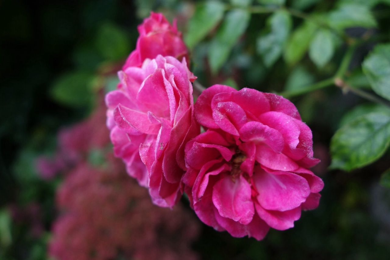 flower, petal, nature, fragility, pink color, beauty in nature, growth, no people, plant, focus on foreground, rose - flower, close-up, flower head, outdoors, blooming, day, freshness