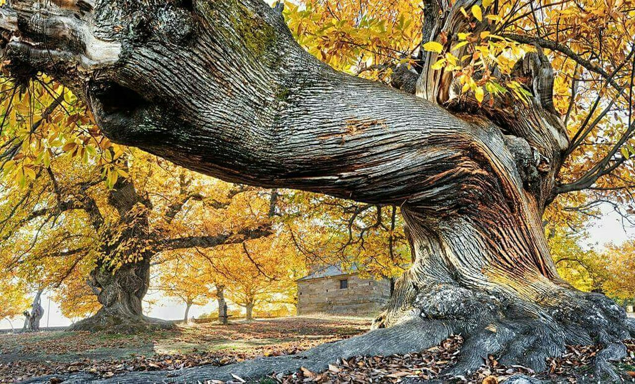 tree, tree trunk, autumn, nature, beauty in nature, branch, forest, leaf, growth, woodland, day, outdoors, rock - object, deciduous tree, no people, tranquility, scenics, close-up