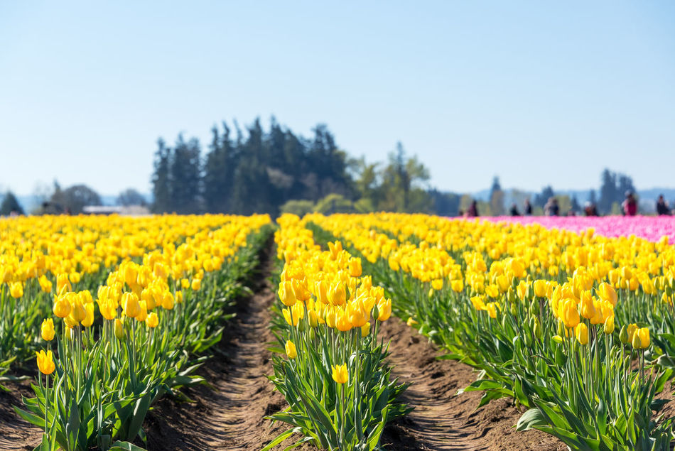 Rows of yellow tulips in Woodburn, Oregon Beauty In Nature Colorful Day Field Flower Flowers Freshness Green Nature No People Oregon Outdoors Pacific Northwest  Pink Purple Red Row Rows Rural Scene Tulip Tulips United States USA Woodburn Yellow