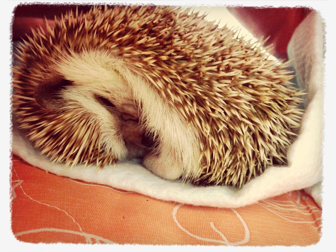 Pet Hadgehog Cute Pets