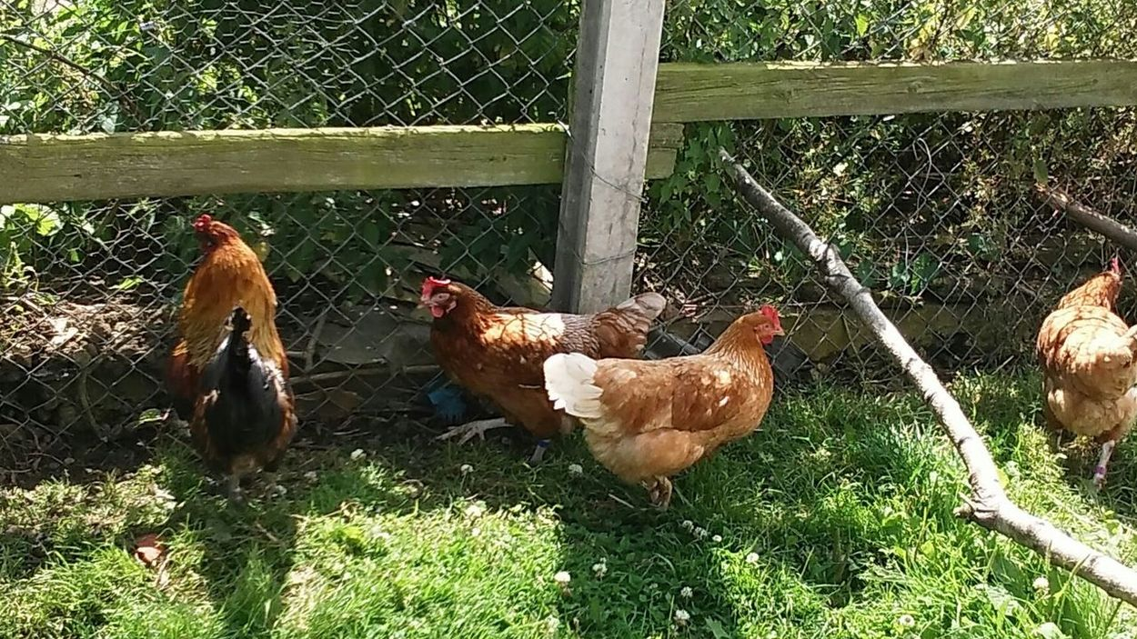 Chooks Chickens Farmyard Animals Rooster Hens And Chickens Alotment