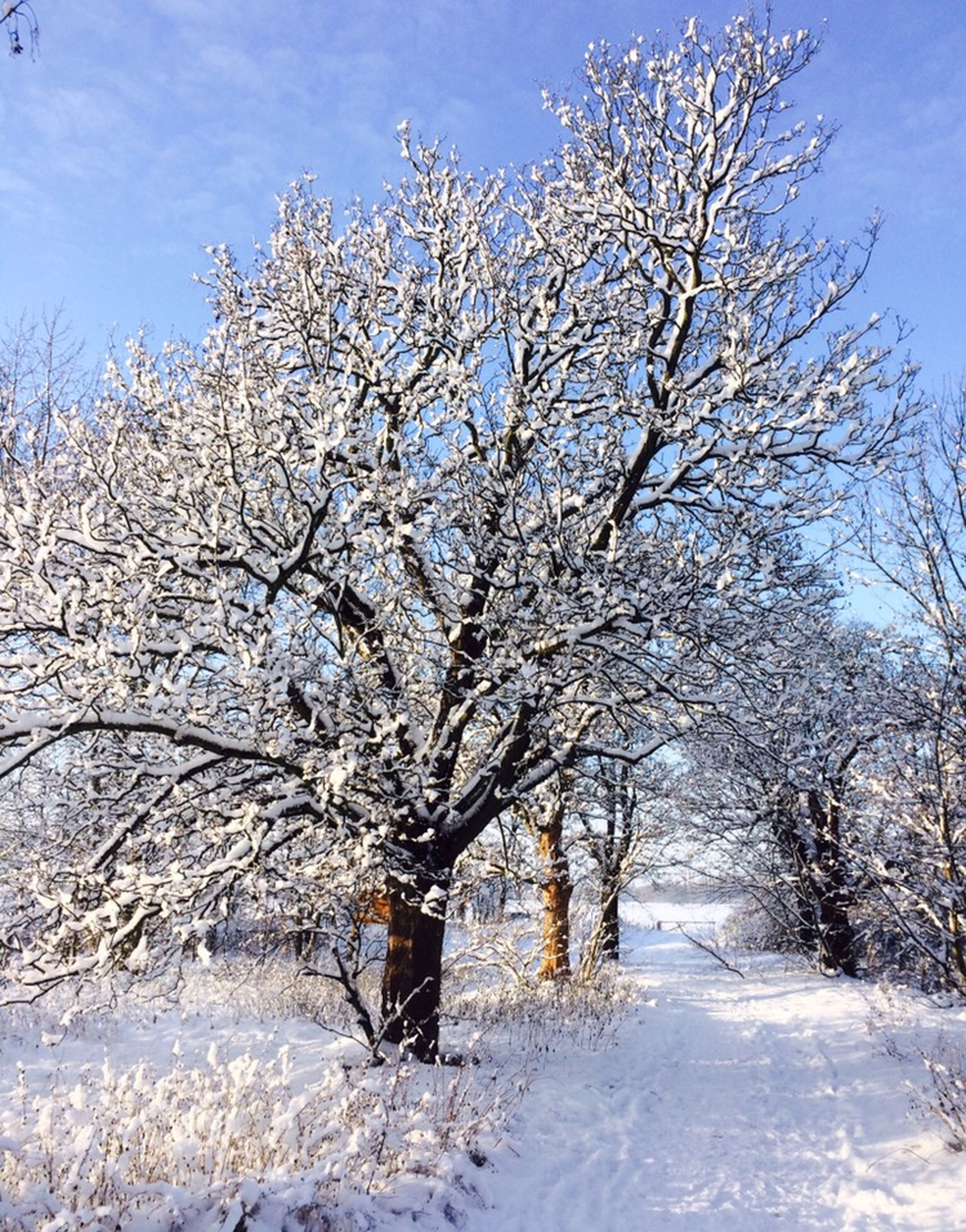 snow, tree, winter, cold temperature, season, branch, bare tree, white color, nature, beauty in nature, sky, tranquility, tranquil scene, weather, growth, scenics, landscape, covering, flower, cherry blossom