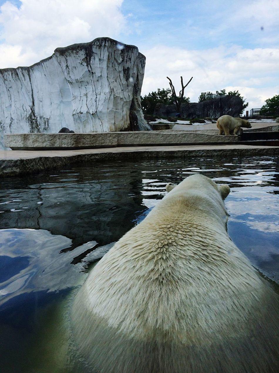 Beautiful stock photos of polar bear, Animal Themes, Animals In Captivity, Bear, Cloud - Sky