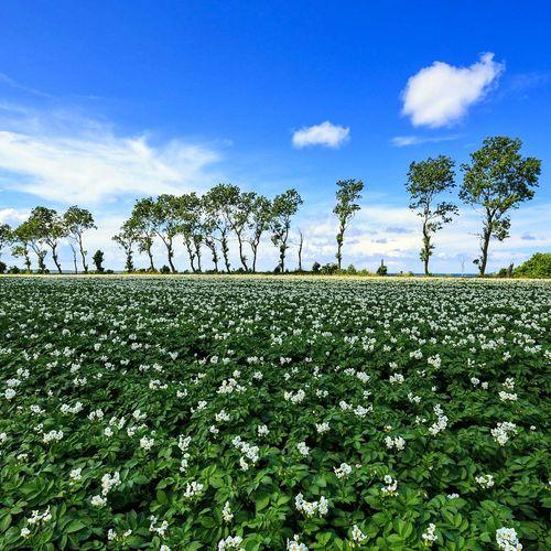 Tree Blue Field Sky Landscape Plant Cloud Day Freshness Canonphotography Sweden Scandinavia Hovs Hallar Potato Plant