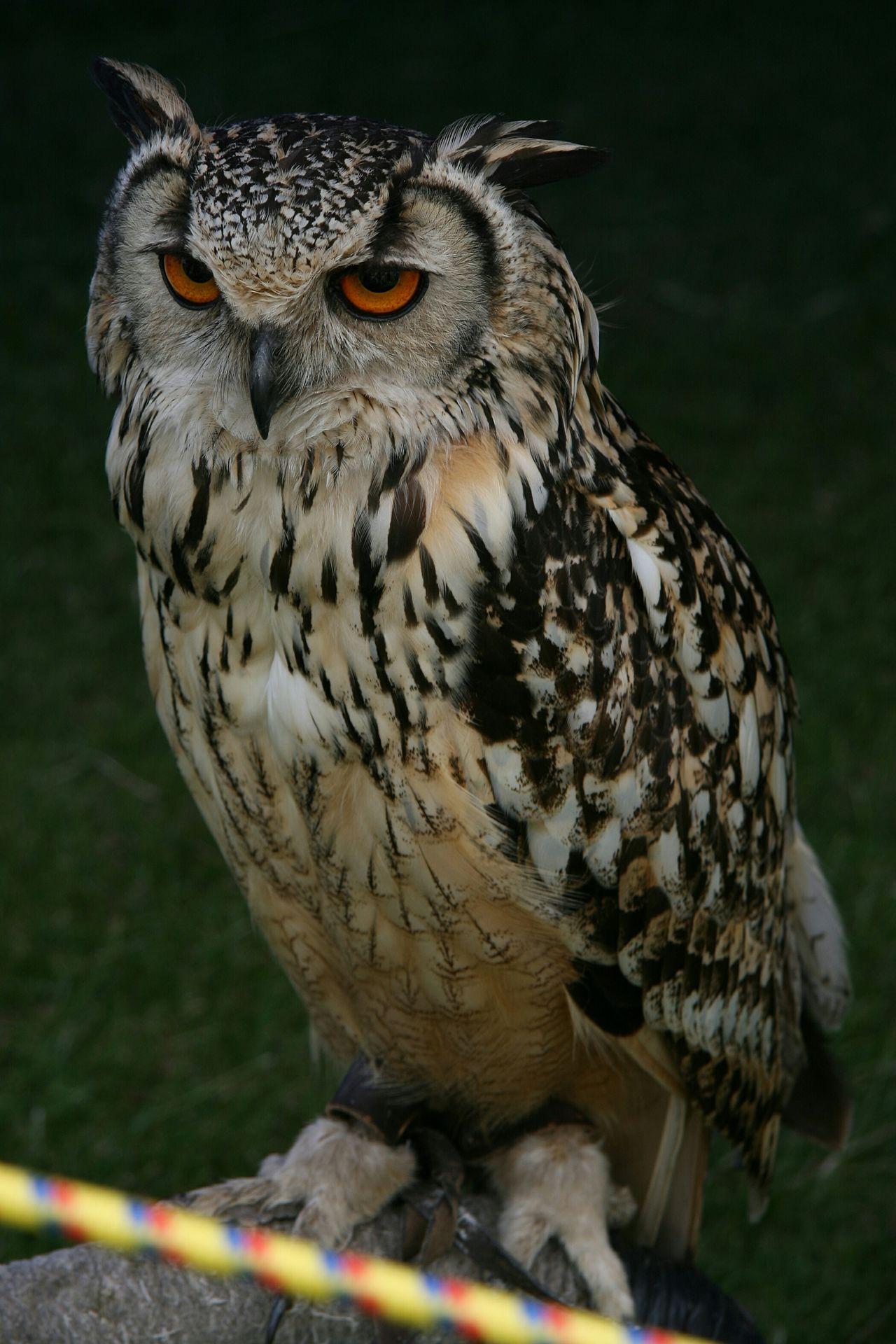 Beautiful stock photos of owl, Animal Eye, Animal Themes, Animals In The Wild, Beak