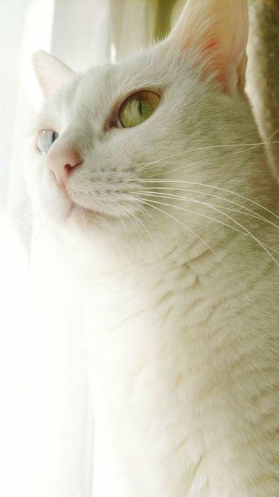 Cat Animal Themes Animals Animal One Animal Animal Photography Zoology Cute Pets Cute Pets Odd Eye Odd Eyes Cat