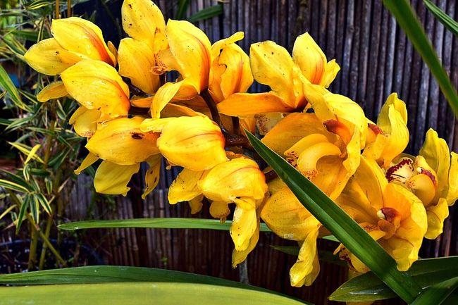 Cymbidium Big Sur CALIFORNIA Bamboo - Plant Bamboo Fence Plants In Pots Landscape #Nature #photography Closeup = Pure Beauty hope you like it my EyeEm friends and followers