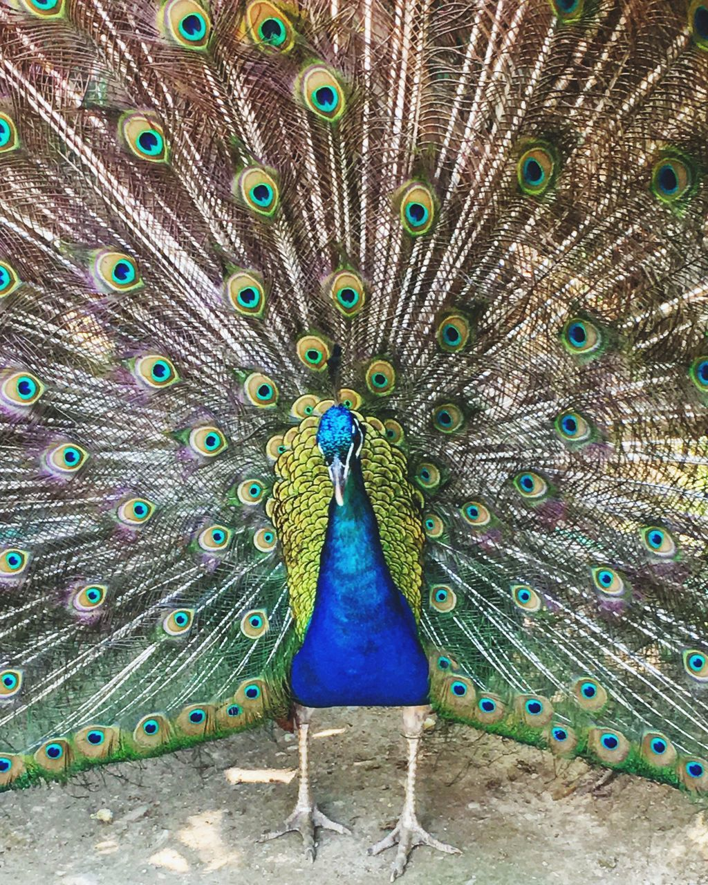 peacock, peacock feather, bird, fanned out, one animal, animal themes, feather, animals in the wild, animal wildlife, front view, multi colored, day, looking at camera, beauty in nature, outdoors, nature, no people, blue, portrait, vanity, close-up