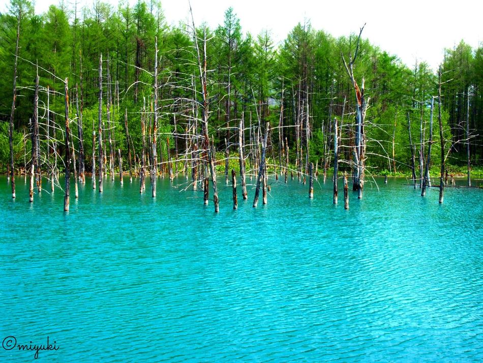 青い池。Blue pond. Blue EyeEm Best Shots EyeEm Nature Lover Pond EyeEm Gallery Hokkaido Nofilter#noedit