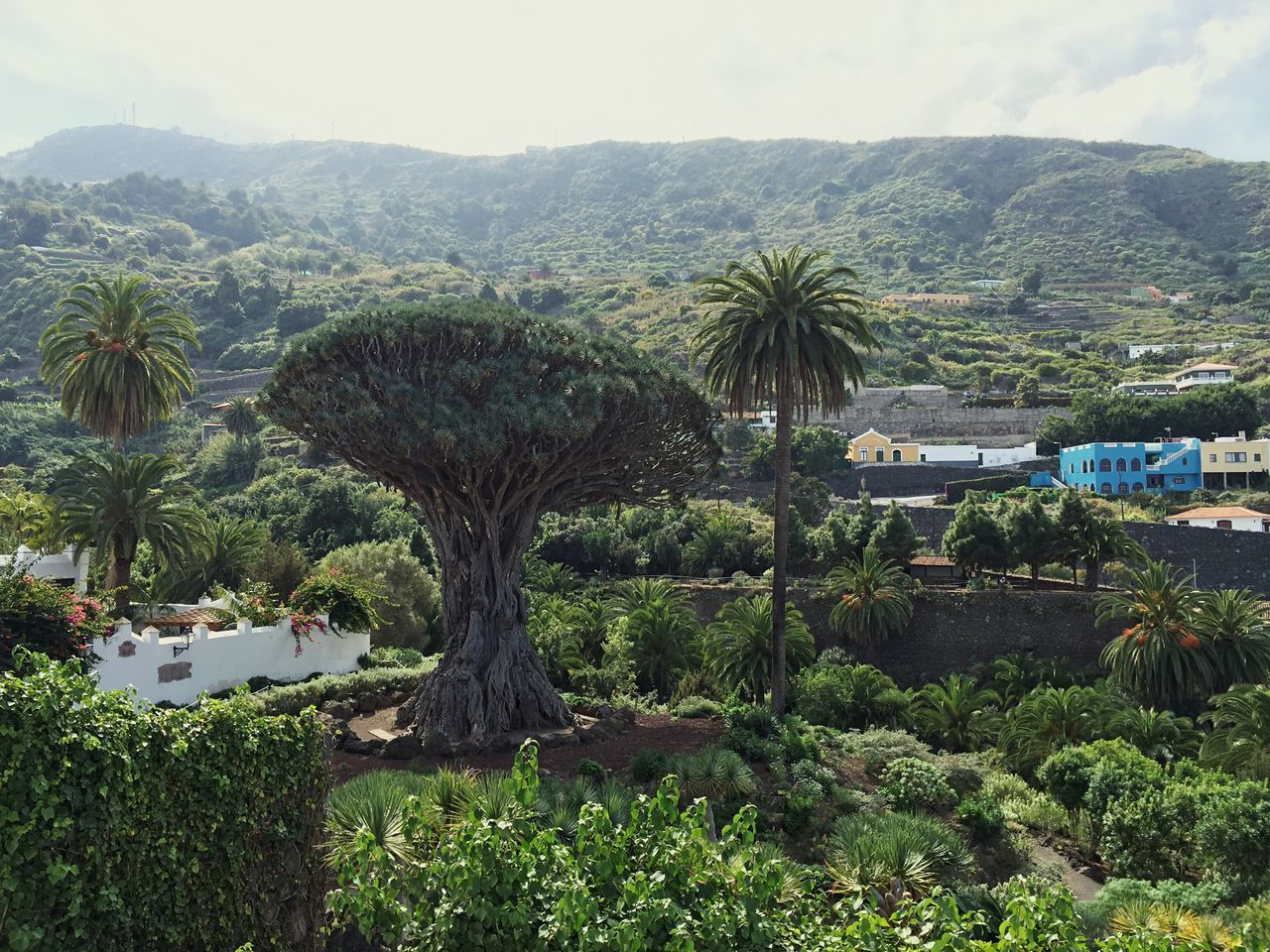 The thousand-year-old dragon tree in Icod, Canary Island Dragontree Dragon Tree Tree Tree Art Treetastic Canary Islands Canary Island