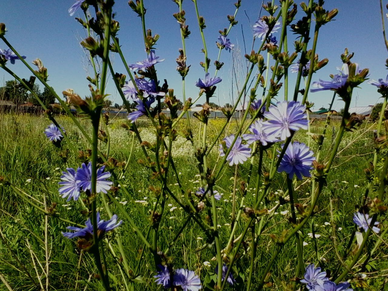 Chicory 🌾☔beautiful flower Flower Fragility Freshness Growth Beauty In Nature Nature Blue Purple Sunlight Plant Field Outdoors Day Close-up Flower Head Sky Russia EyeEmNewHere Мордовия Пурдошки Темников Chicory цикорий Endive Mordovia