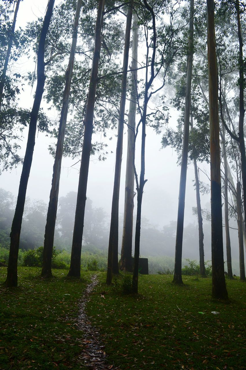 tree, nature, tranquility, landscape, tree trunk, tranquil scene, beauty in nature, scenics, growth, grass, forest, outdoors, no people, idyllic, day, mist, hazy, fog, sky
