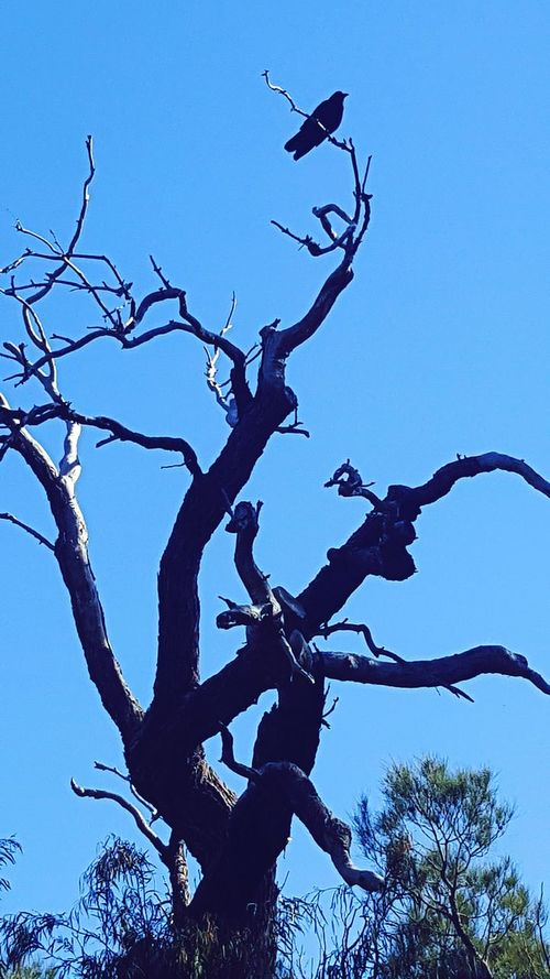 Crow Branch Low Angle View Beauty In Nature Tranquility Tree Trunk Bare Tree Clear Sky Tree Scenics Nature Outdoors Tranquil Scene Single Tree Blue Sky Day Majestic Dead Tree Contrast Beauty Kings Park And Botanical Garden Bird Photography Bird Birds Of EyeEm