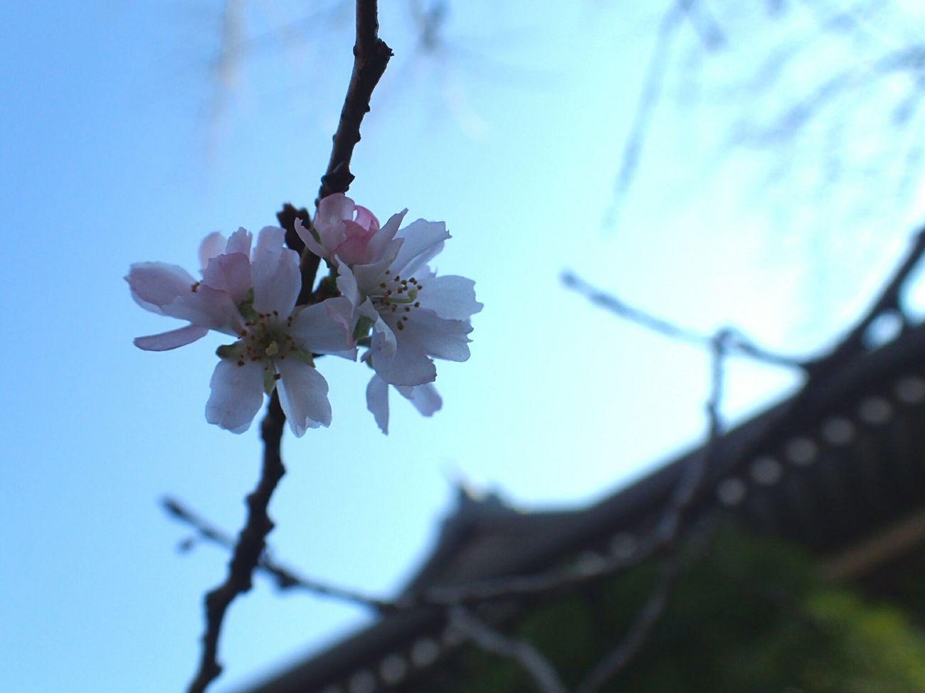 靖国神社へ初参拝。 サクラ 小正月