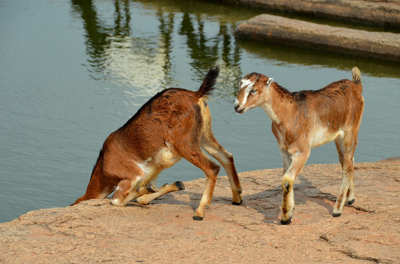 Beautiful stock photos of goat, Animal Themes, Brown, Day, Domestic Animals