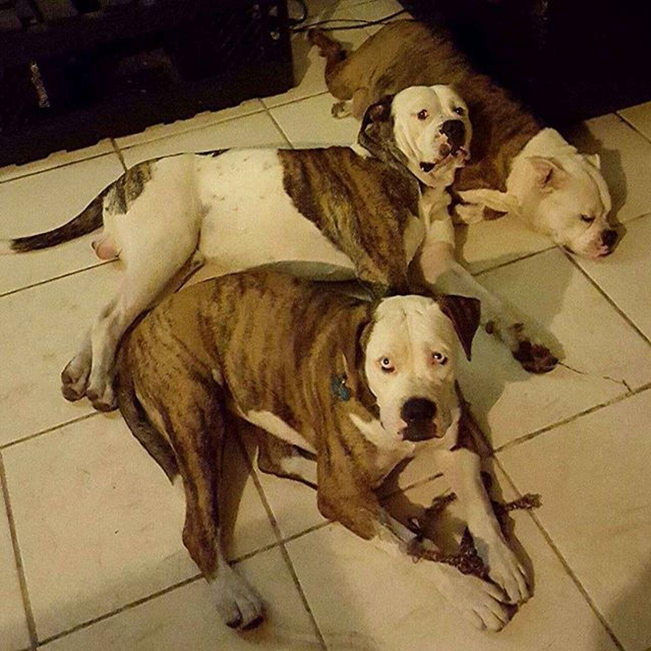 Americanbulldogs Bullies Bulliemomma Hybrid Johnsonbreedamericanbulldog Mom Dad Puppy Bullielove Bullielife Katie Jax Thor
