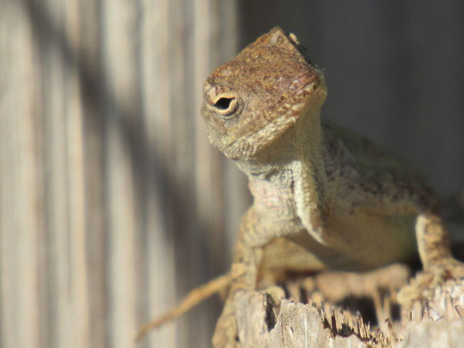 Lizard Look Animal Head  Animal Themes Animals In The Wild Close-up Focus On Foreground Lizard One Animal Reptile Wildlife Zoology Animal Planet Sticky Feet Sun Bathers