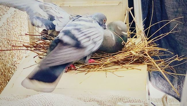 Nest Building Nests Hatching Of Pigeon's Egg Mother & Father Building Future Bird Photography Peigons Birds Warming Eggs High Angle View Nature Building Home
