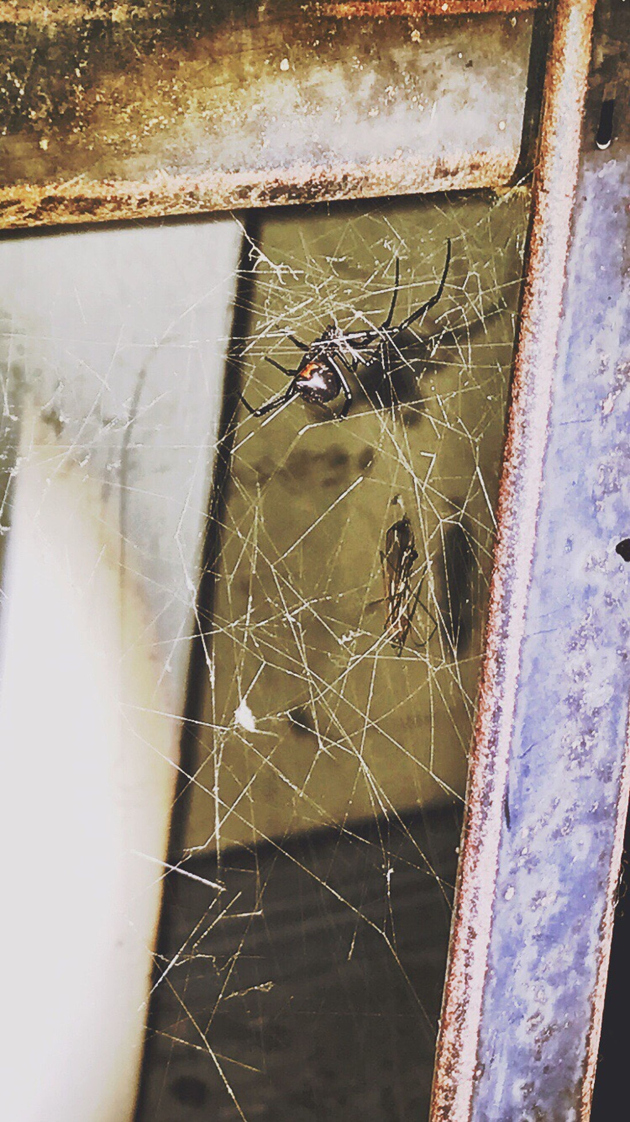 spider web, one animal, animal themes, spider, animals in the wild, insect, close-up, day, web, window, no people, outdoors, animal wildlife, nature