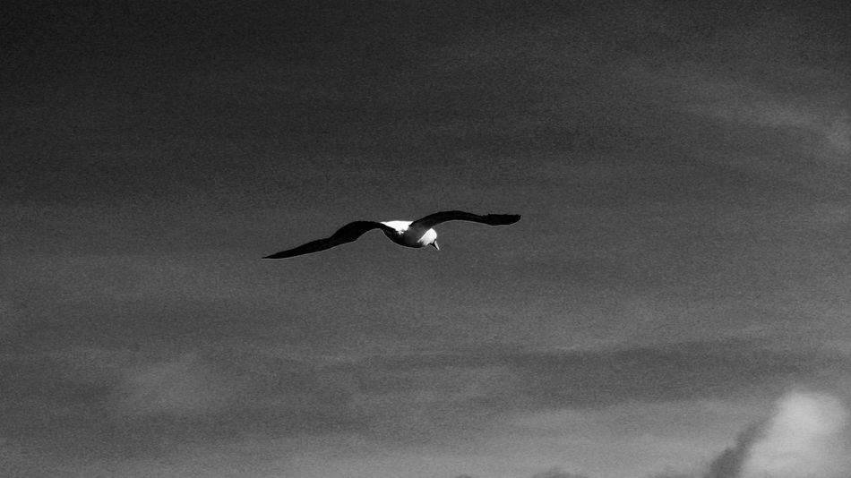 Bird Animal Themes Animal Wildlife Animals In The Wild Bird Blackandwhite Day Flying Low Angle View Monochrome Nature No People One Animal Outdoors Silhouette Sky Spread Wings