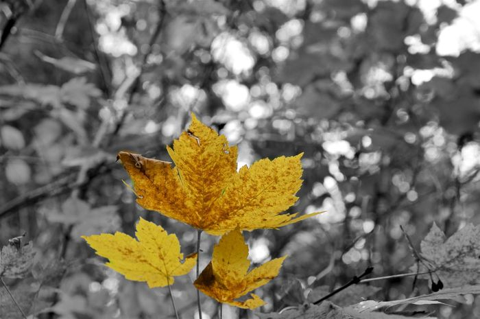 Colorful leaves with an black & white background Autumn Autumn Colors Blackandwhite Color Hiking Leaves Nature Outdoors Postprocessing