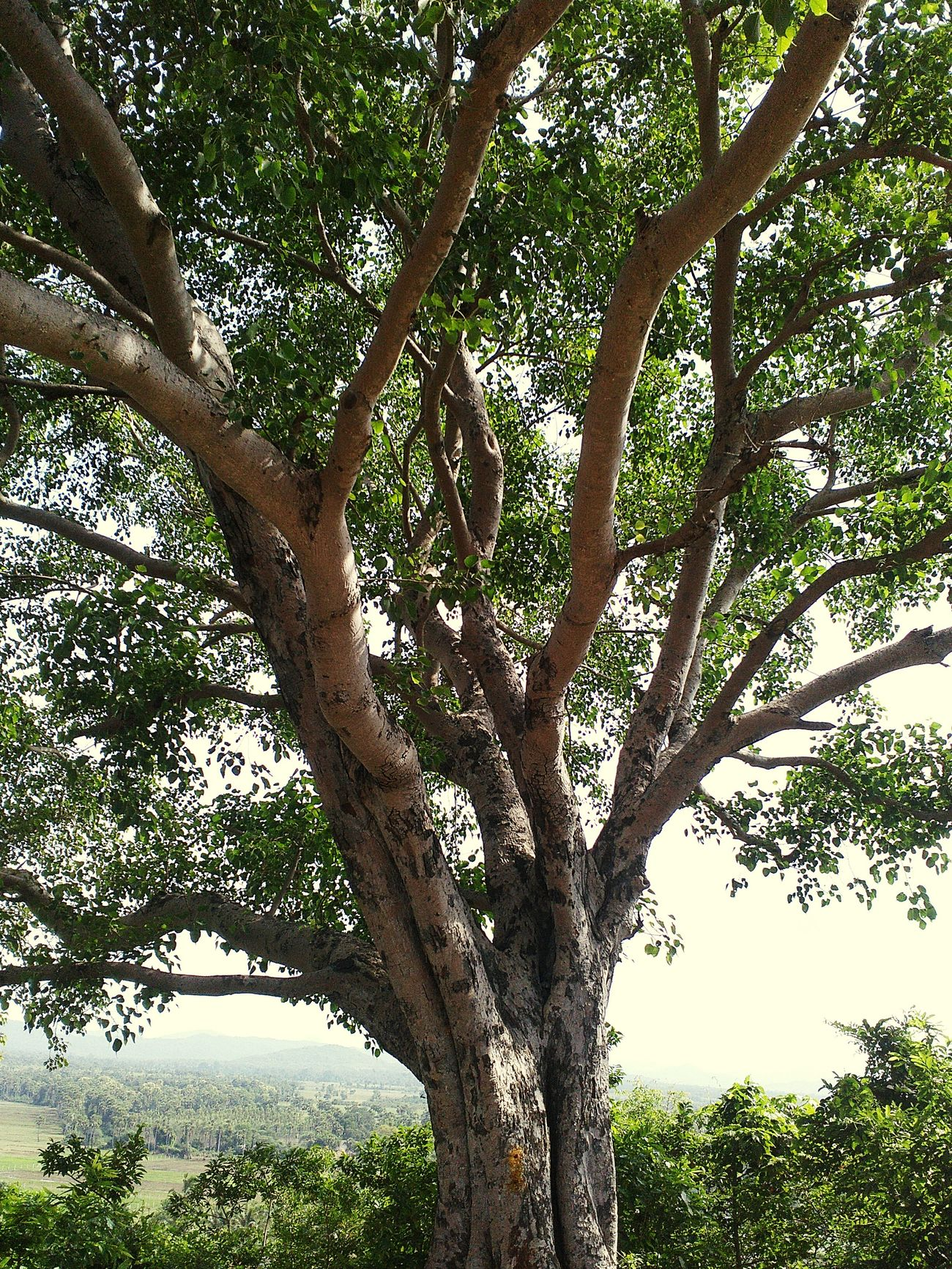Nature. Natural Beauty Tree Capturing Freedom Scenery Tree_collection  India Location Peepal Tree