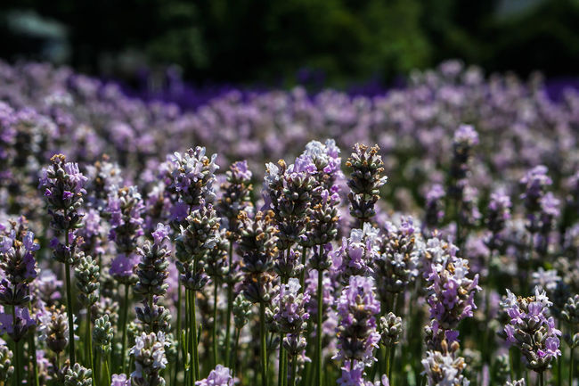 Beauty In Nature Blooming Blossom Botany Close-up Day Field Flower Flower Head Focus On Foreground Fragility Freshness Growth In Bloom Lavender Nature No People Outdoors Petal Pink Color Plant Purple Selective Focus Stem Tranquility