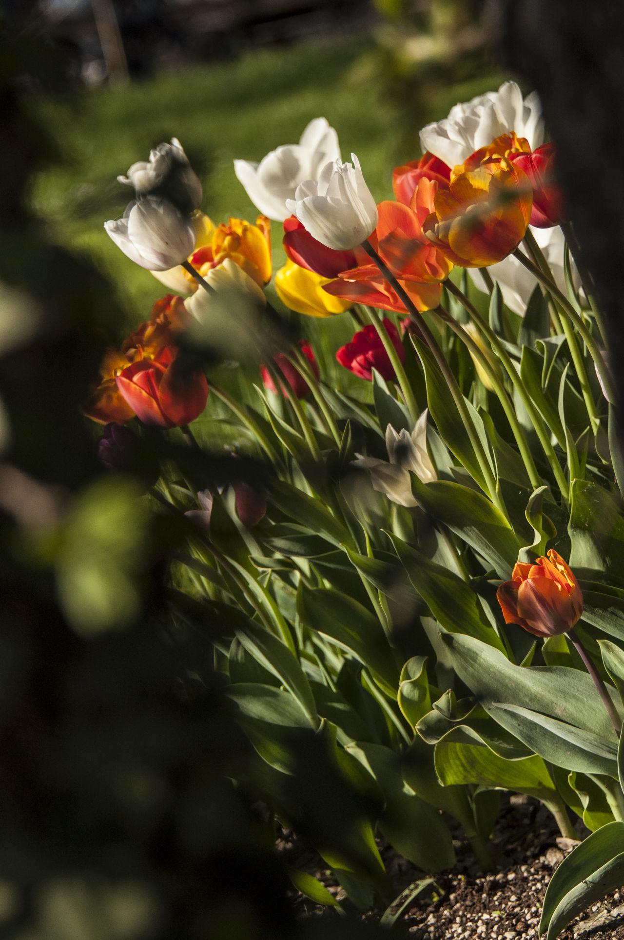 Colorfull EyeEm Nature Lover Flower Collection Flowers Flowers,Plants & Garden Garden Pralormo Tulip