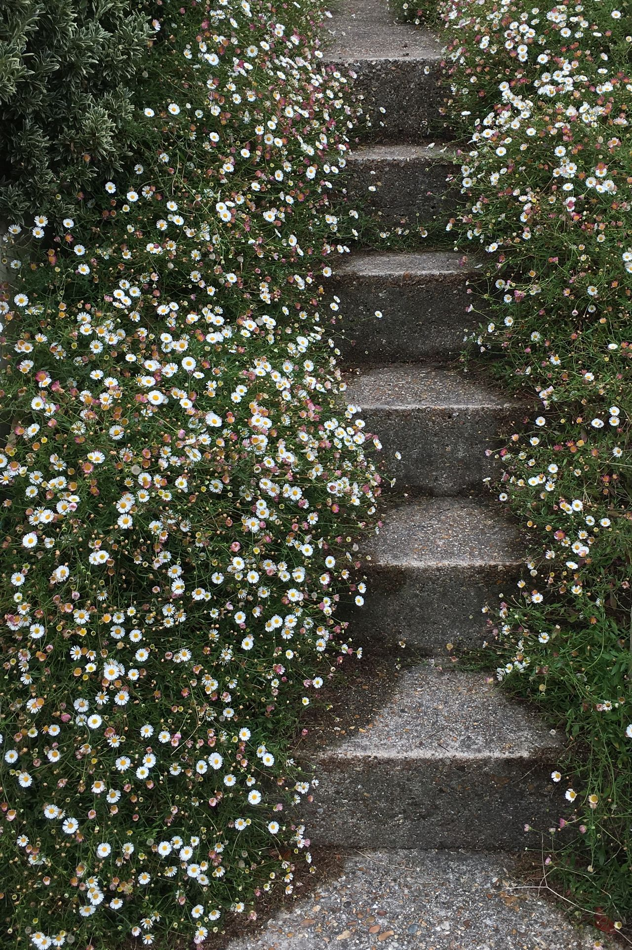 Daisy Way Flower Growth Home Nature No People Plant Steps Steps And Staircases