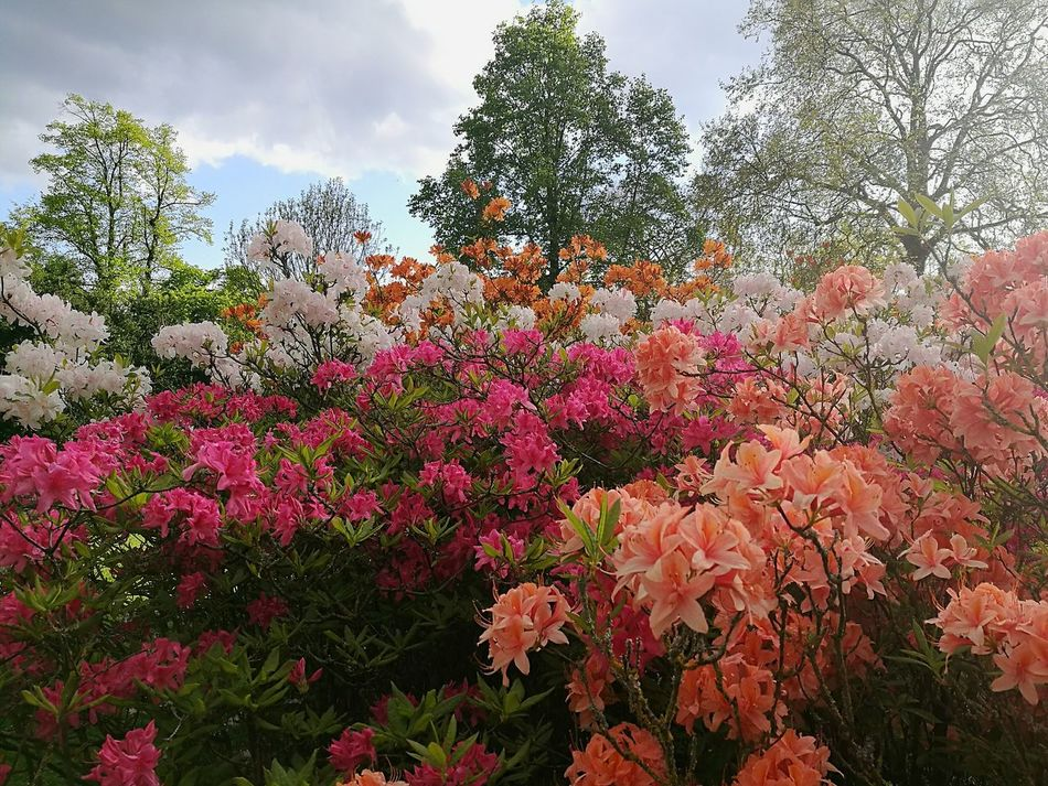 Azaleas Rhododendron Azalea Smartphonephotography HuaweiP9 Flowers,Plants & Garden Love Flowers Multi Colored Spring Flowers Flowers Flower Nature Beauty In Nature Outdoors Growth Spring Springtime Garden Kew Gardens United Kingdom Spring Day Sunny Afternoon Spring Garden Flowers, Nature And Beauty Spring Photography