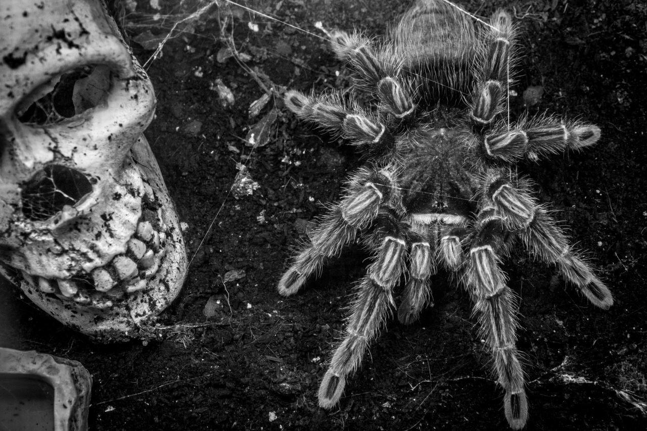 Animal Themes Animals In The Wild Close-up No People Skull Spider Spider Web Spiderworld