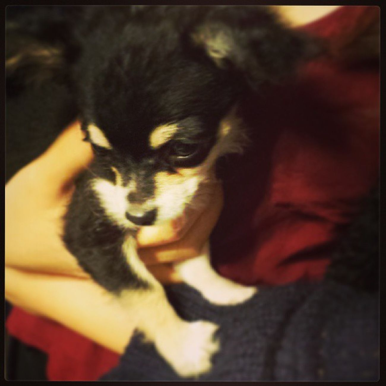 Awww cutie cutiee<3 Puppy Chiwawa Hkers Auckland hkig hkiggirl love