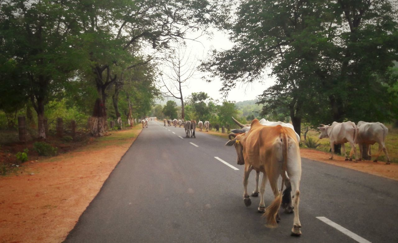 tree, road, animal themes, mammal, domestic animals, the way forward, one animal, cattle, cow, livestock, walking, outdoors, day, nature, full length, no people, farm animal, sky