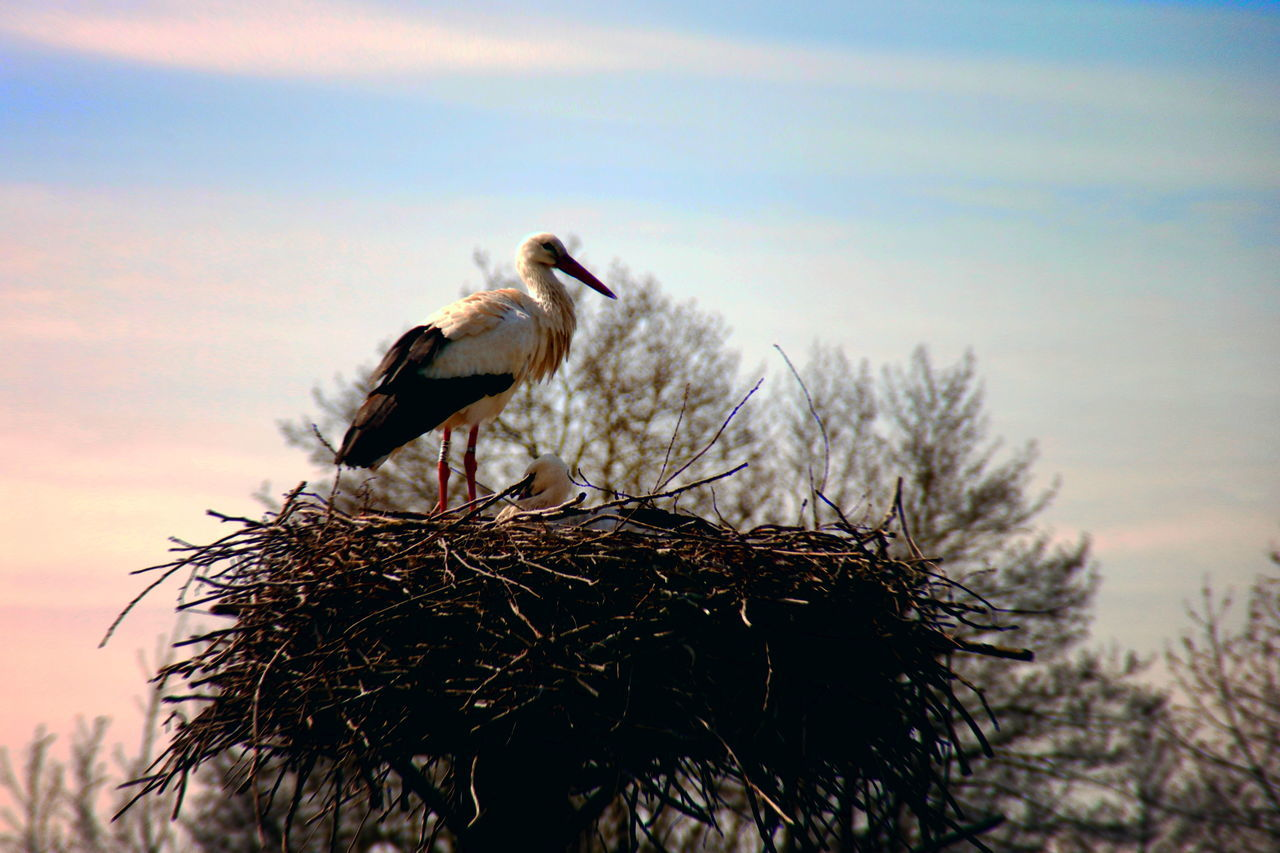 A stork in its nest Animal Nest Animal Themes Animal Wildlife Animals In The Wild Baby Bird Bird Nest Birds Blackandwhite Day Nature Nature Nest No People Outdoors Pink Color Stork Storks Storks Nest Sundown Tree Twighlight White Stork Wildlife