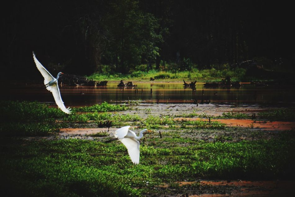 Swooping in from the edge of prehistoric times 😂 Egrets Birds EyeEm Birds EyeEm Nature Lover Nature Wildlife Bird Photography Snowy Egret