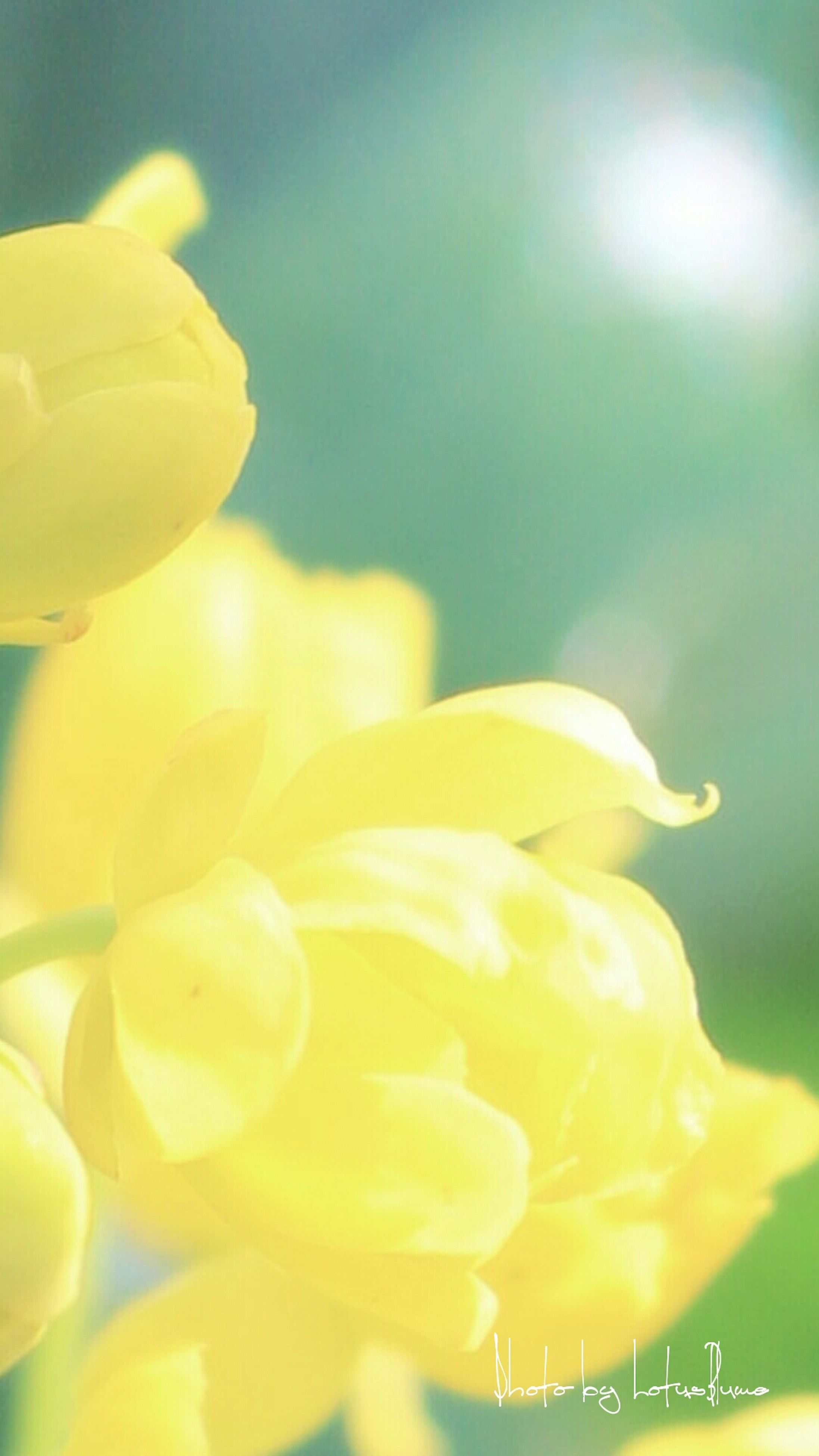 yellow, flower, petal, fragility, freshness, flower head, close-up, focus on foreground, beauty in nature, nature, growth, blooming, plant, selective focus, no people, outdoors, day, single flower, park - man made space, sunlight