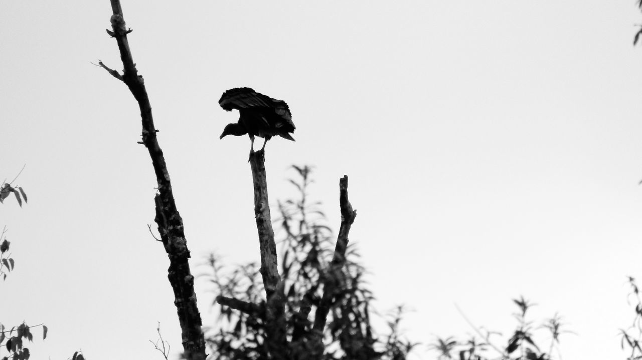caught this at just the right moment 11/16 canon energy corridor Silhouette Bird Animal Themes Perching One Animal Animal Wildlife Animals In The Wild Branch Outdoors Nature Sky Tree Beauty In Nature Texas EyeEmBestPics Check This Out Popular Enjoying Life EyeEm Best Shots Popular Photos Beautiful Eyeemphotography Eye4photography  Travel Hanging Out Mix Yourself A Good Time