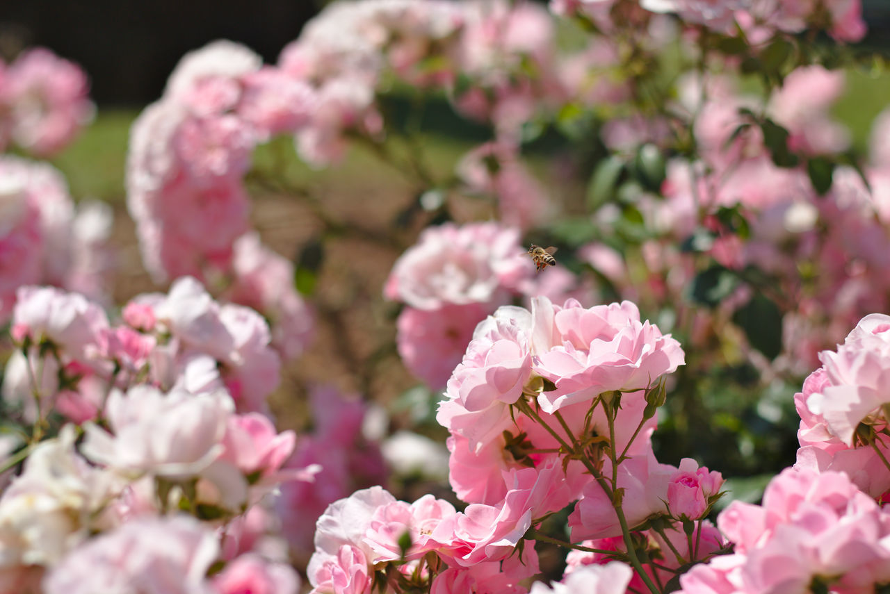 Close-Up Of Pink Flowers