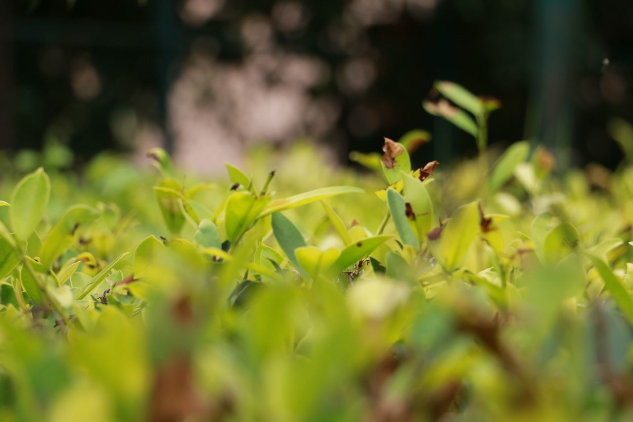 growth, plant, nature, selective focus, green color, new life, no people, outdoors, leaf, freshness, beauty in nature, close-up, day