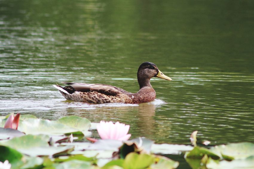 Duck Lelie Flower Animals In The Wild Animal Themes Water One Animal Lake Nature Swimming Bird Animal Wildlife Duck Day No People Water Bird Beauty In Nature Outdoors Close-up