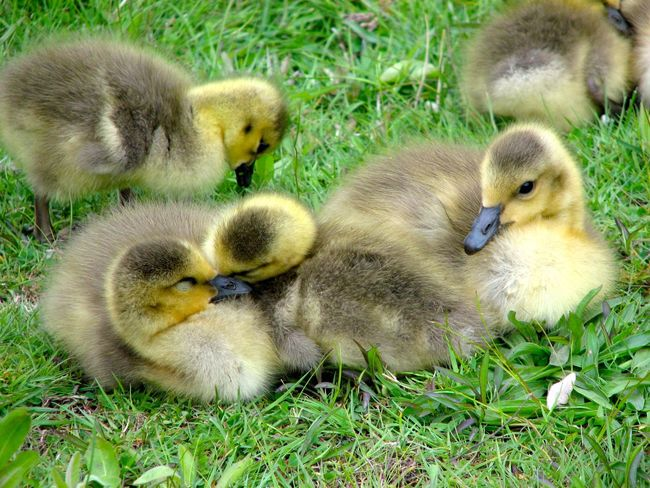 Canada Geese Animal Themes Baby Animals Birds Canada Geese Famille Geese Gosslings Green Parenting