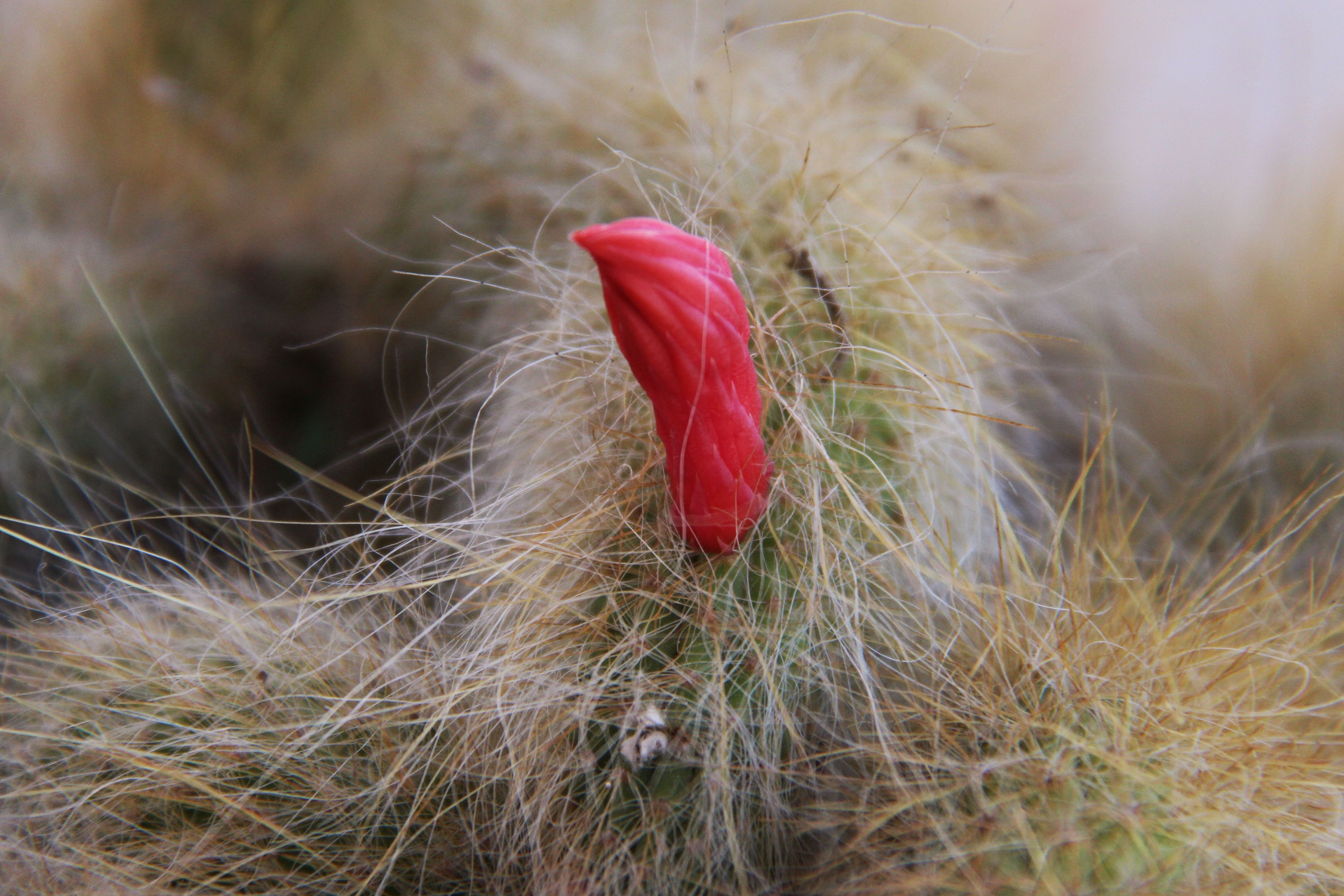 red, growth, plant, flower, field, close-up, nature, freshness, focus on foreground, stem, grass, fragility, selective focus, beauty in nature, poppy, no people, day, outdoors, petal, flower head
