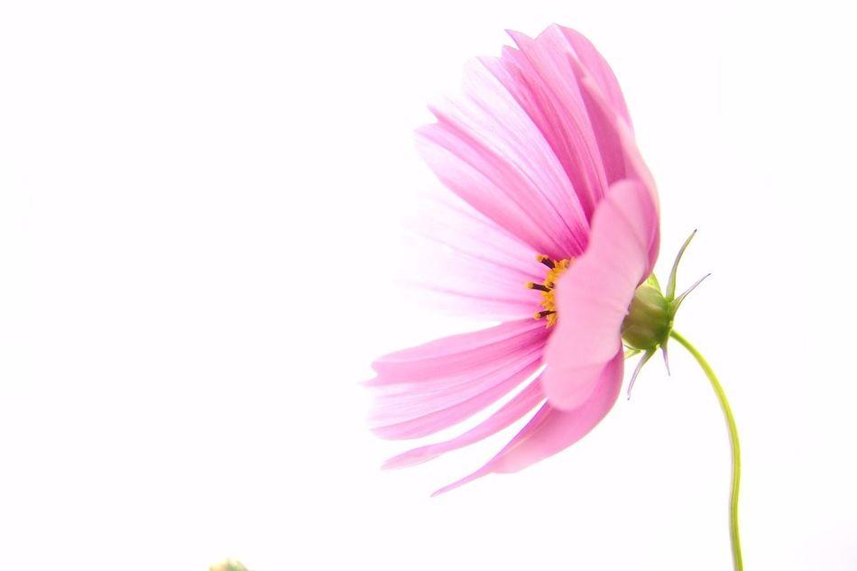 淡い花びら