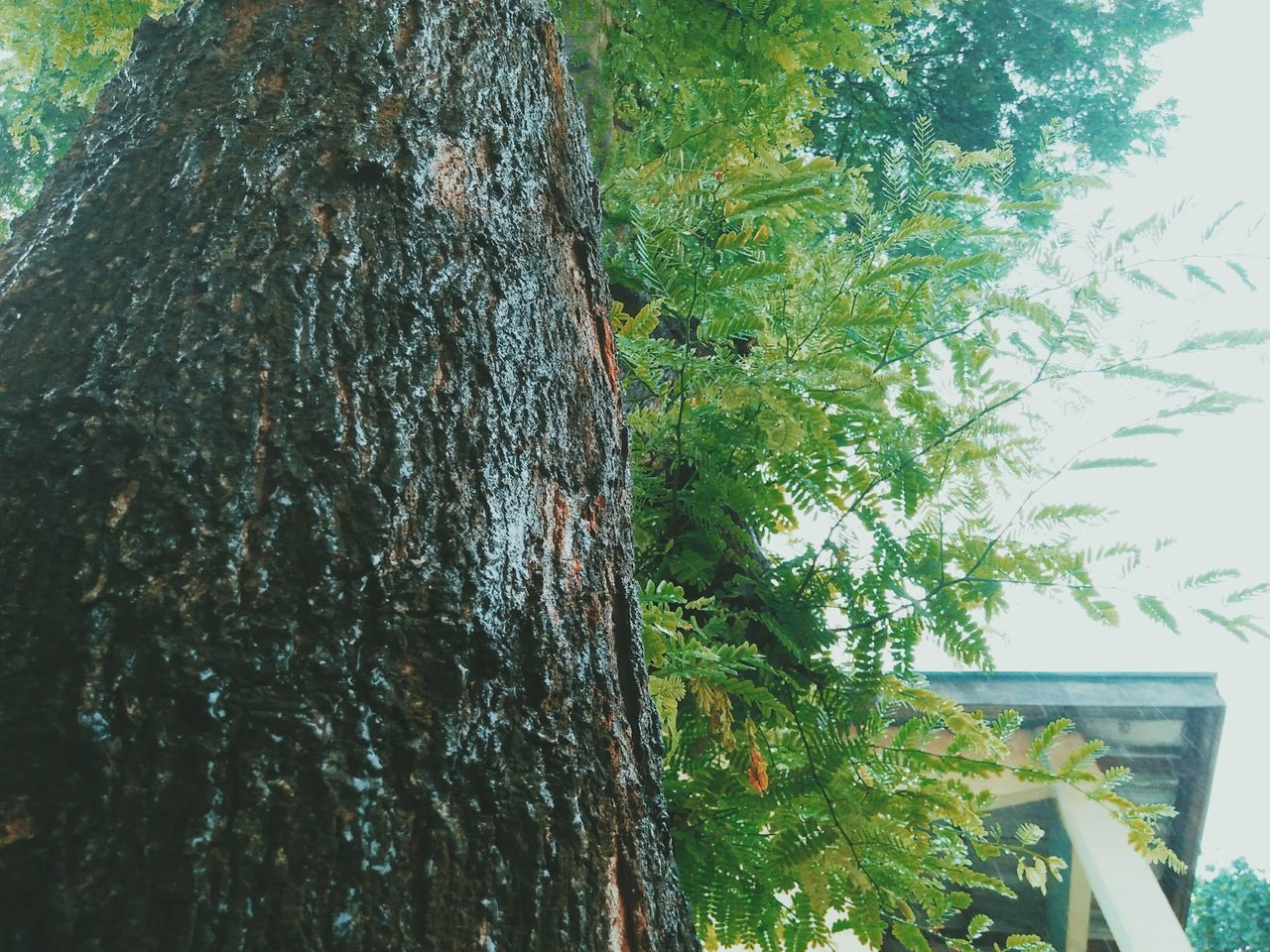 tree trunk, tree, day, growth, nature, no people, outdoors, bark, textured, low angle view, forest, close-up, beauty in nature