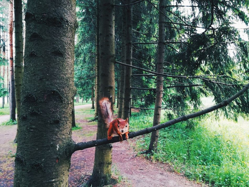 Pushkin City Ekaterininsky Park Russia Summer Time  Garden_world EyeEm Gallery Nature_collection EyeEm Nature Lover Travel Photooftheday One Animal Tree Animal Themes Green Color Travel Destinations Squirrel In A Tree Squirrel Photography Russian Squirrel