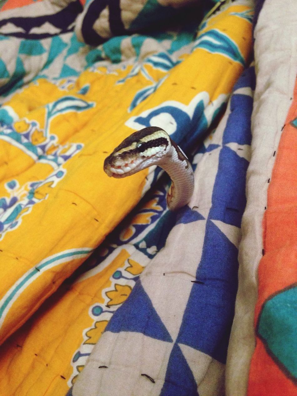 Snake Severus Snake Phython Photogenic  odly enough he is very photogenic. His name is sedrick.