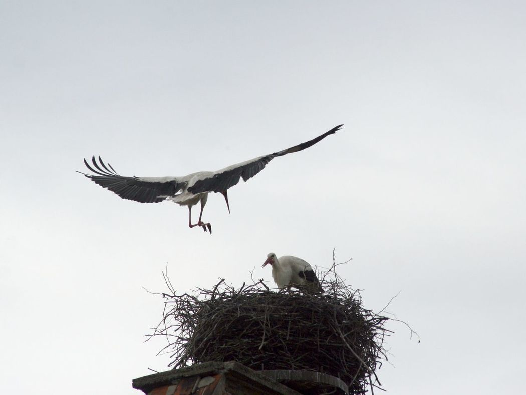 Animal Themes Animal Wildlife Animals In The Wild Bird Day Flying Landing Approach Mid Air No People Outdoors Stork Stork Nest White Stork