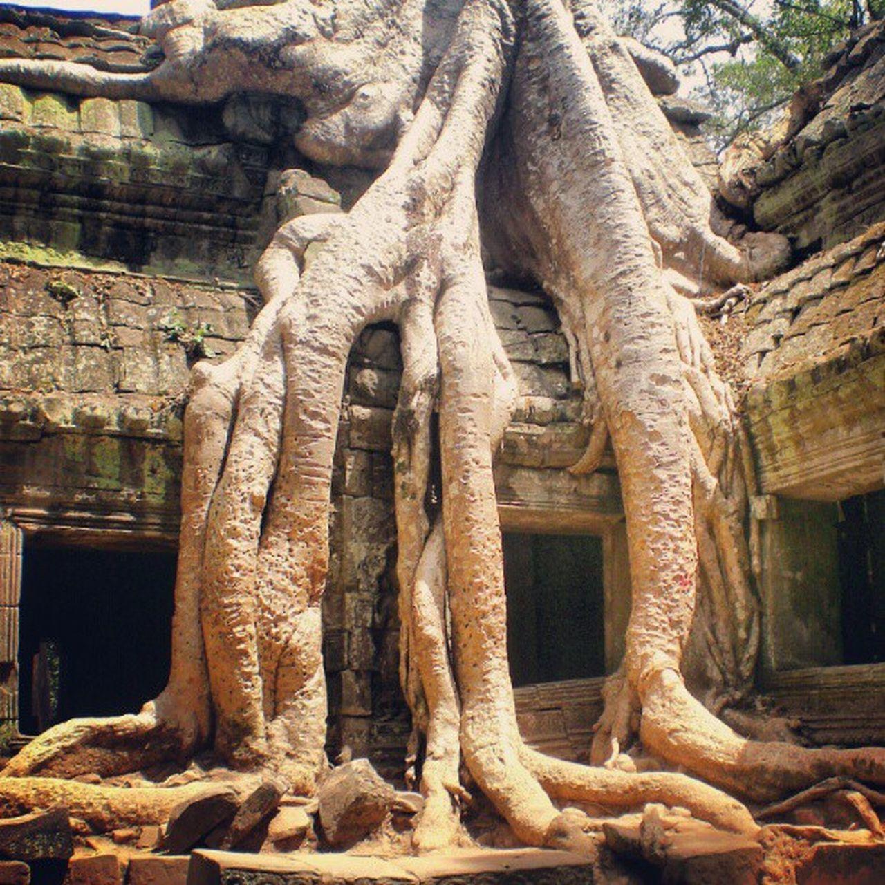Angkor Cambodia Khmer Instakhmer Tree Ic_nature Ic_trees